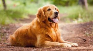 Золотистые ретриверы – это очень умная и энергичная порода собак. Они очень дрессируемы, потому что хотят угодить своим хозяевам, а также хорошо ладят с детьми и другими собаками