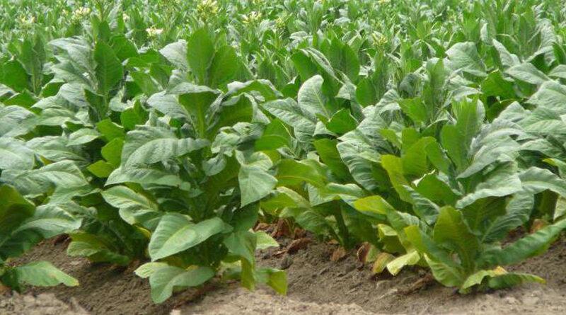 Табак предпочитает почвы, заправленные органикой. Как и все пасленовые, табак имеет поздние, ранние и средние сроки созревания. Размножают табак семенами, высеивая их начале февраля в ящики